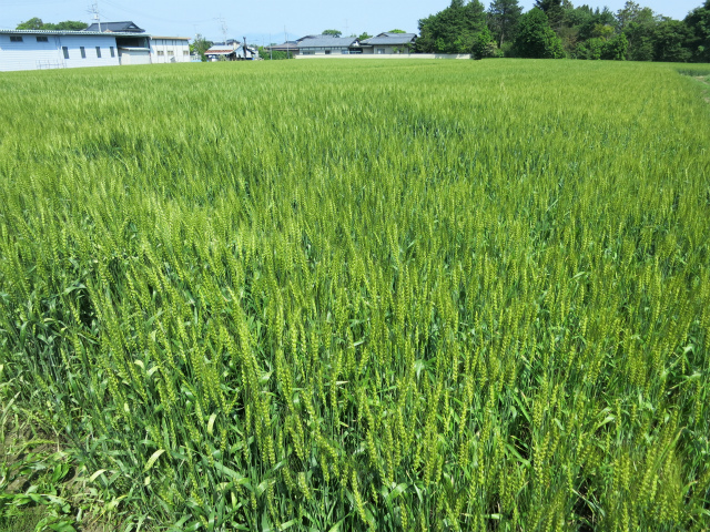 この辺りも米と麦の二毛作