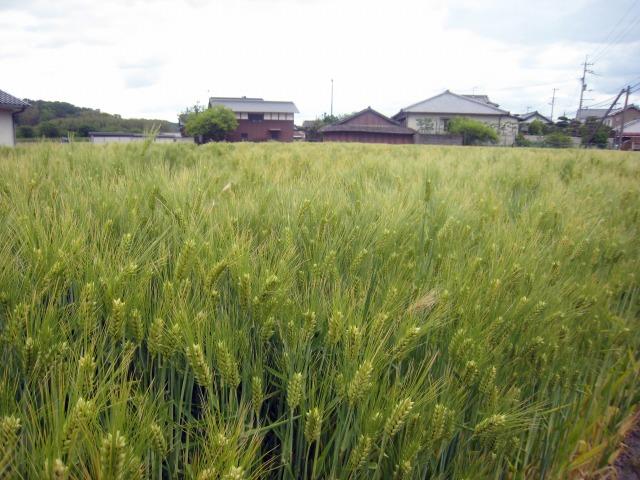 綾川町の麦畑 収穫間近