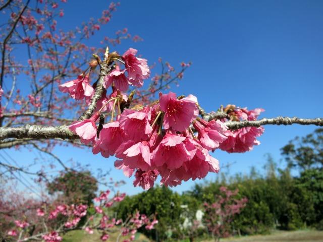 八重岳桜まつり 寒緋桜