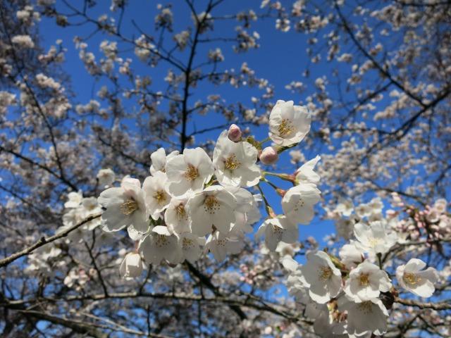 見頃の桜もちらほら