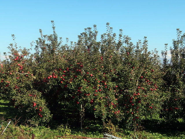 信州のリンゴ畑