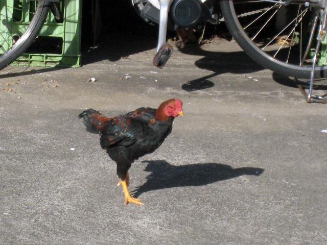 駐車場に放し飼いの鶏がいた